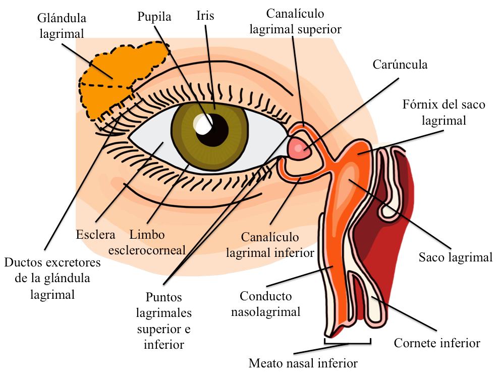 Pautas para el examen oftalmológico. Enfoque para el estudiante de ...