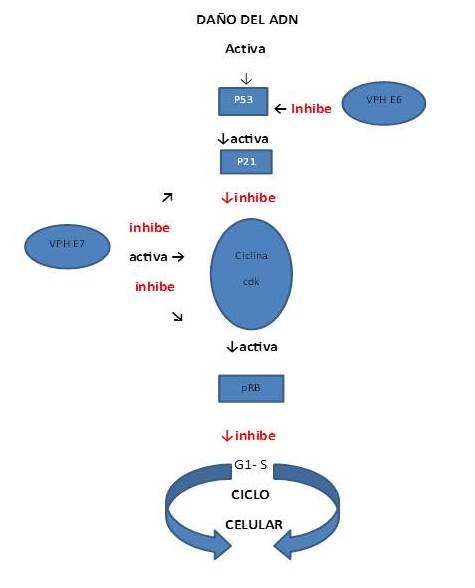 Biología Del Virus Del Papiloma Humano Y Su Relación Con El