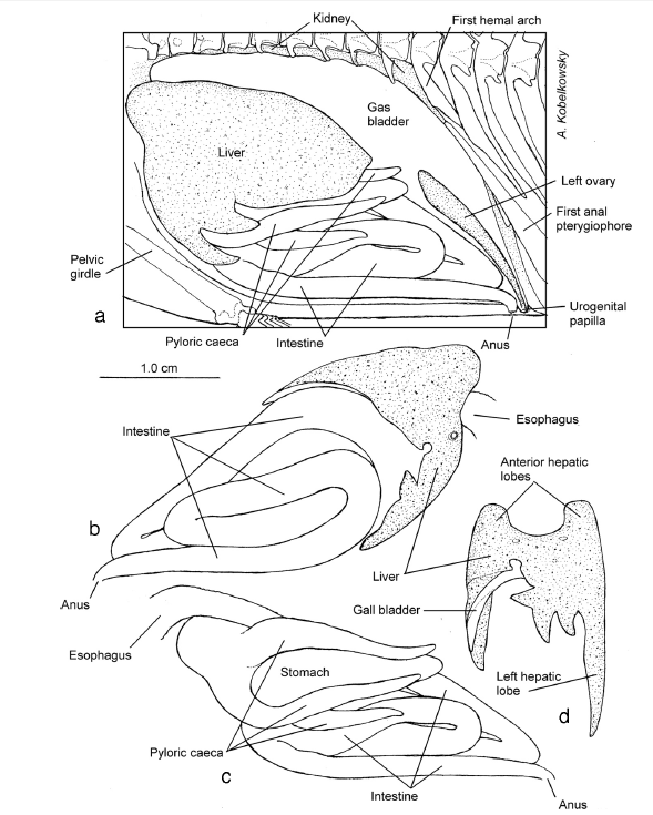 Anatomical Description Of The Corts Damselfish Stegastes