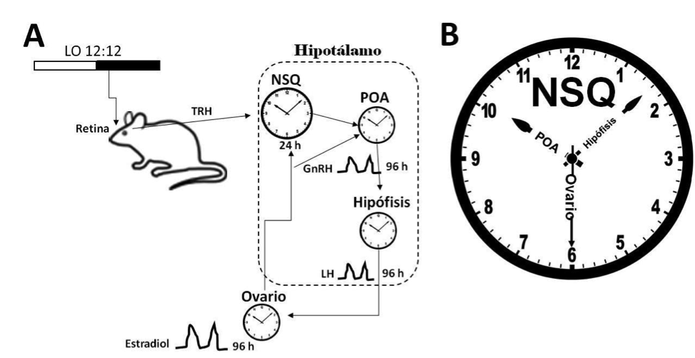 Visor Redalyc - El reloj circadiano ovárico: un segundero en la ...