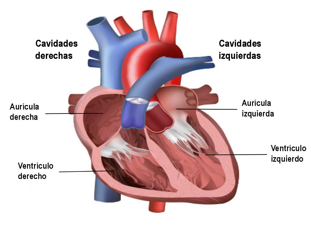 Visor Redalyc - Potencial Eléctrico en el Corazón: Representación ...
