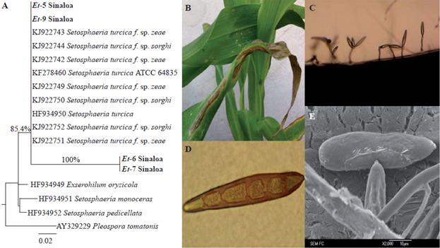 helminthosporium sp caracteristicas