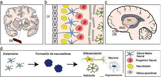 Neurogénesis En Cerebro Adulto